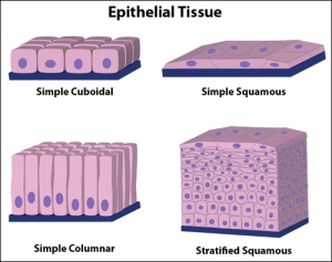 Epithelial_types